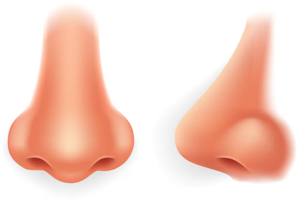front profile human nose realistic isolated 3d icon design vector illustration - nos stock illustrations