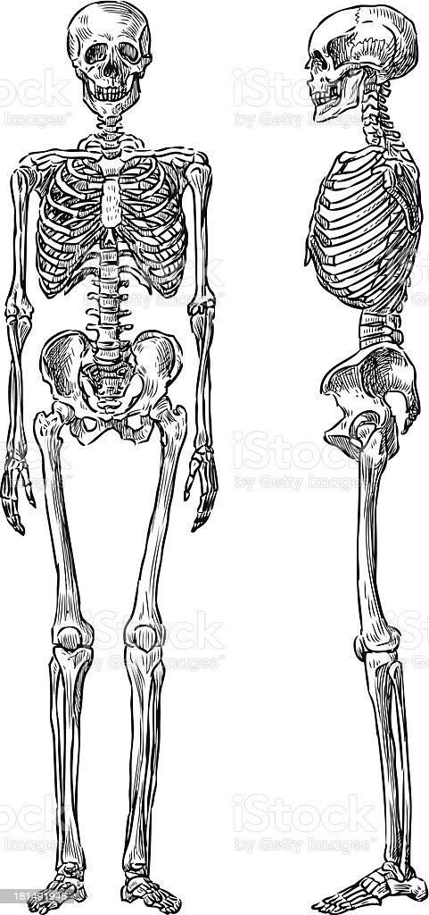 front side and side view of human skeleton stock vector