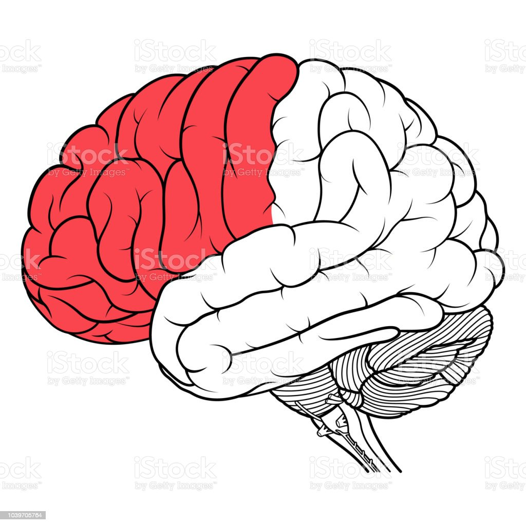 Frontal Lobe Of Human Brain Anatomy Side View Flat Stock Vector Art