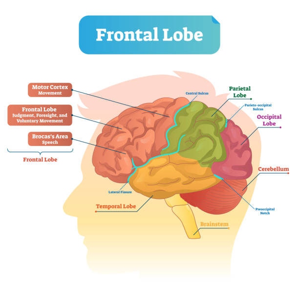 Frontal lobe vector illustration. Labeled diagram with brain part structure Frontal lobe vector illustration. Labeled diagram with brain part structure. Scheme with motor cortex, Brocas area, parietal, occipital lobe and cerebellum locations. hippocampus brain stock illustrations