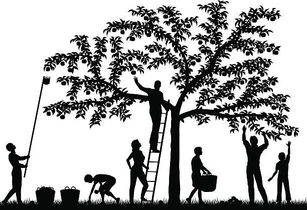 illustrazioni stock, clip art, cartoni animati e icone di tendenza di raccogliere frutta - raccogliere frutta