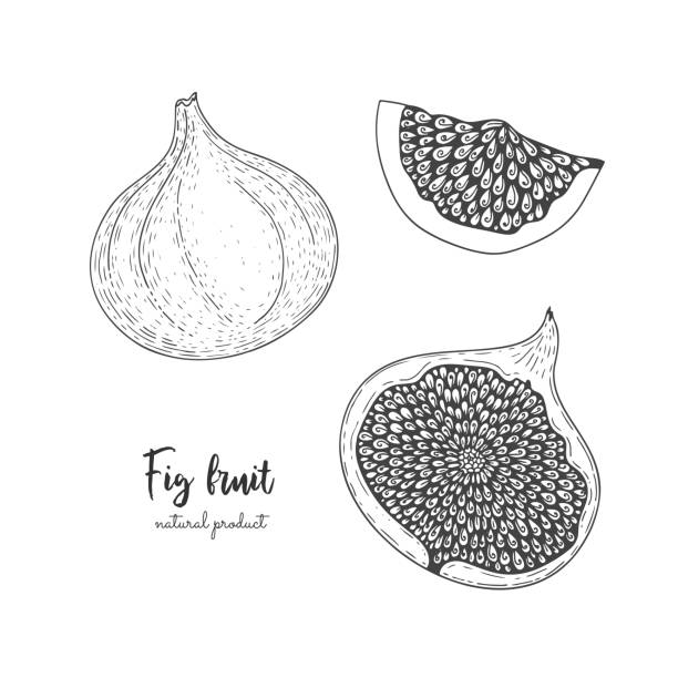 Fruit illustration with figs in the style of engraving. Detailed vegetarian food. Hand drawn elements for menu, greeting cards, wrapping paper, cosmetics packaging, labels, tags, posters etc Fruit illustration with figs in the style of engraving. Detailed vegetarian food. Hand drawn elements for menu, greeting cards, wrapping paper, cosmetics packaging, labels, tags, posters etc. fig stock illustrations