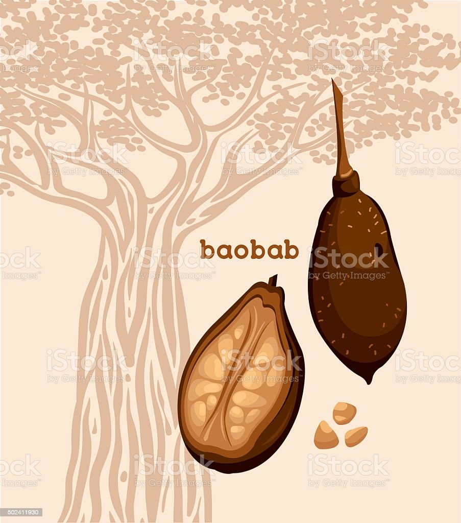 Fruit of baobab tree and seeds. vector art illustration