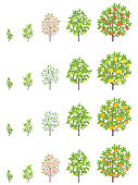 Fruit tree growth stages. Apple, peach and lemon mandarin increase phases. Vector illustration. Ripening progression. Fruit trees life cycle animation plant seedling. Flat vector color Illustration clipart.
