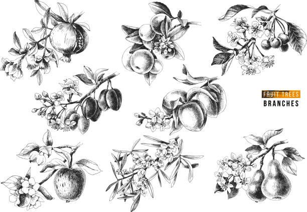 과일 나무 분 지 - 씨벅턴 stock illustrations