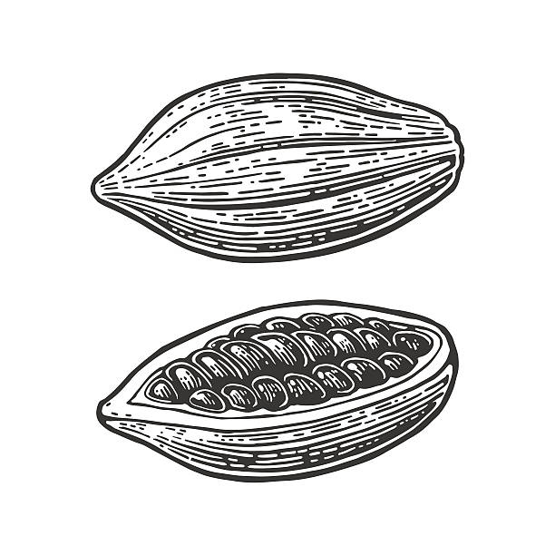 fruits of cocoa beans. vector vintage engraved illustration - plant pod stock illustrations