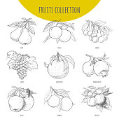 Fruits set vector freehand pencil drawn sketch illustration