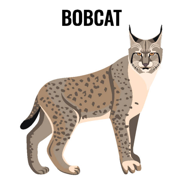 Full length spotted bobcat vector illustration isolated. Wildlife animal cat Full length spotted bobcat vector illustration isolated. Wildlife animal cat specie with coat in grey and white colors with sharp ears bobcat stock illustrations