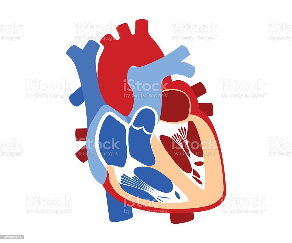 Ilustración de Función Y Definición Corazón Humano y más banco de ...