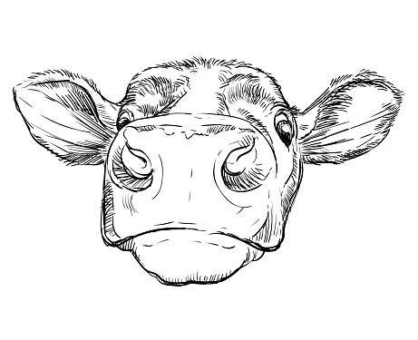Funny head of bull hand drawing illustration