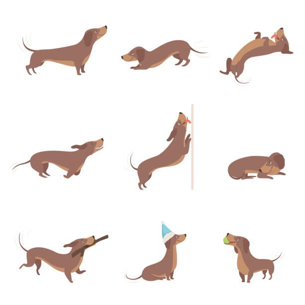 bildbanksillustrationer, clip art samt tecknat material och ikoner med rolig lekfull renrasiga brun tax hund verksamhet som vektor illustrationer på en vit bakgrund - tax