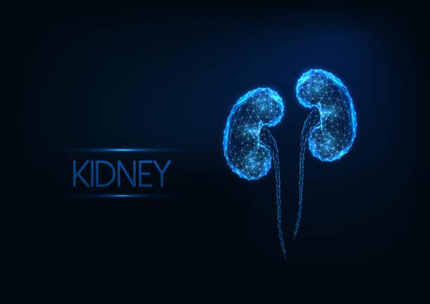 ilustrações de stock, clip art, desenhos animados e ícones de futuristic glowing low polygonal human kidneys isolated on dark blue background. - diálise