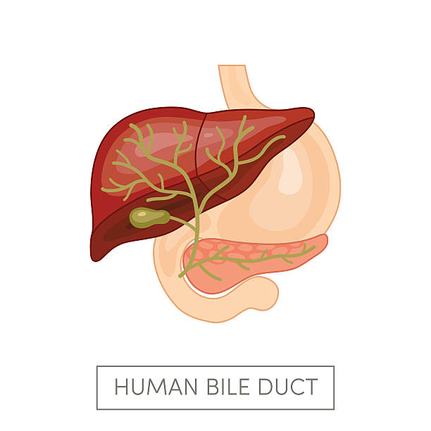 Gallbladder duct vector Gallbladder duct of a human surrounded intestines. Cartoon vector illustration for medical atlas or educational textbook. bile stock illustrations
