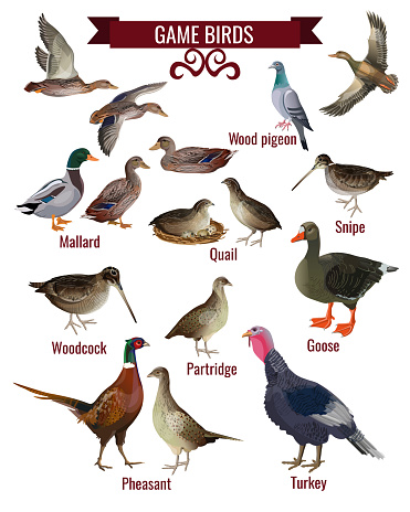 Game bird set in realistic style design