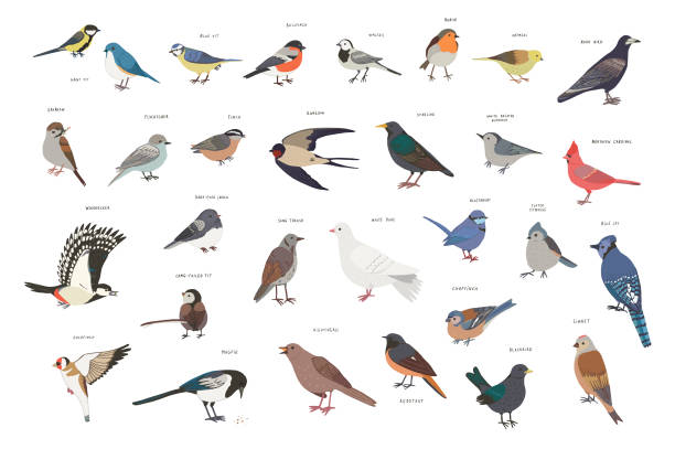 Garden Birds Common garden birds that you can see in the nature your backyard. finch stock illustrations