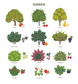 Vector illustration of fruit trees and berry bushes, such as apple, cherry, pear, black currant, barberry and strawberry. Isolated on white.