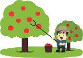 Gardener man is harvesting apples on the apple tree.