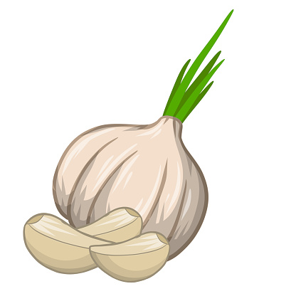 Garlic bulb. Spicy vegetable. Natural product. Element of harvest