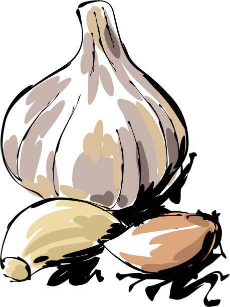 Garlic Drawing drawing of Garlic, Elements are grouped.contains eps10 and high resolution jpeg. garlic stock illustrations