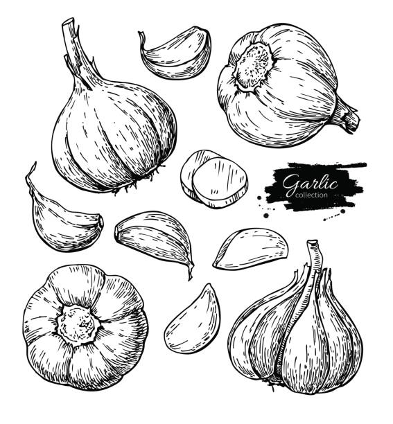 Garlic hand drawn vector illustration set. Isolated Vegetable, clove, sliced pieces.  Engraved style Garlic hand drawn vector illustration set. Isolated Vegetable, clove, sliced pieces.  Engraved style object. Detailed vegetarian food drawing. Farm market product. Great for menu, label, icon garlic stock illustrations
