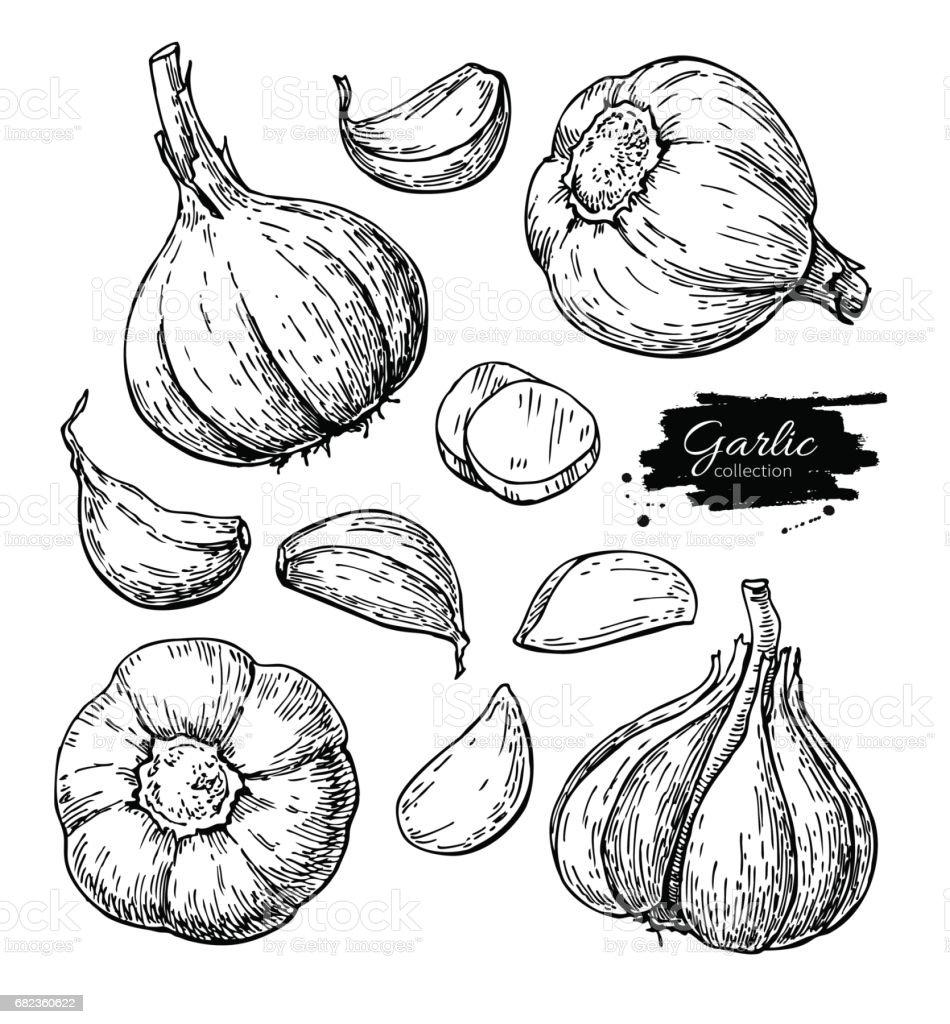 Conjunto de ilustração vetorial mão desenhada alho. Isolados de vegetais, cravo, fatias de peças.  Estilo gravado - ilustração de arte em vetor