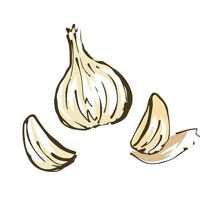 Garlic illustration. Fresh vegetables.