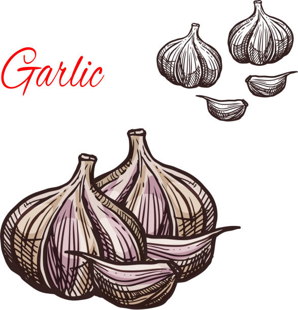 Garlic seasoning vector sketch plant icon Garlic seasoning spice herb sketch icon. Vector isolated garlic bulb vegetable plant for culinary cuisine cooking or flavoring herbal seasoning ingredient or grocery store and market design garlic stock illustrations