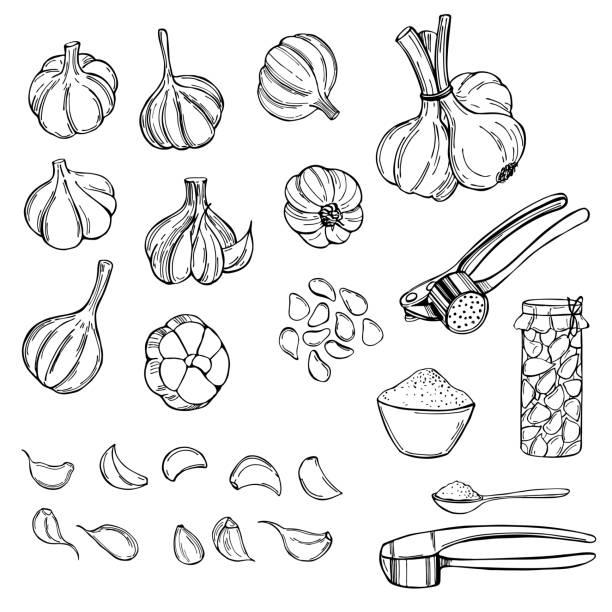 ilustrações de stock, clip art, desenhos animados e ícones de garlic set. vector sketch illustration - natureza close up