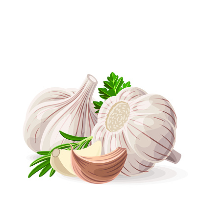 Garlic two whole and pieces with coriander parsley rosemary on white. Vector illustration. No gradients
