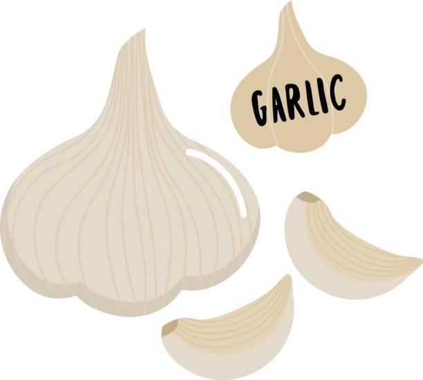 garlic garlic vector garlic stock illustrations