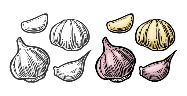 Garlic with slices isolated on white background. Vector vintage engraving Illustration for menu, web and label Garlic with slices isolated on white background. Vector color vintage engraving Illustration for menu, web and label garlic stock illustrations