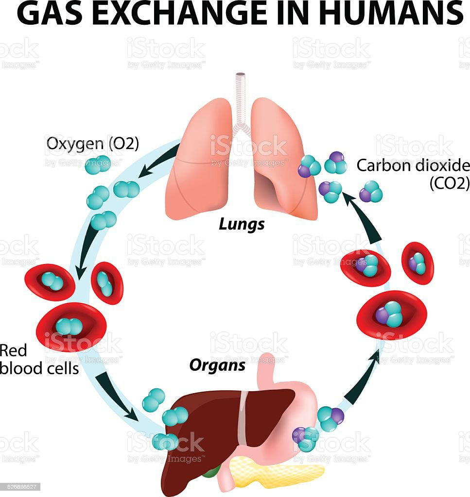 Gas exchange in humans vector art illustration
