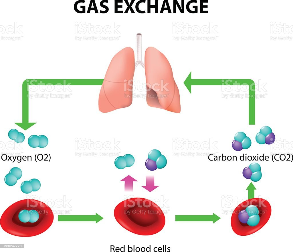 gas exchange vector art illustration