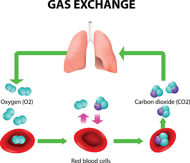 gas exchange Gas exchange in humans. Path of Red Blood Cells. Oxygen transport cycle. Both oxygen and carbon dioxide are transported around the body in the blood hemoglobin stock illustrations