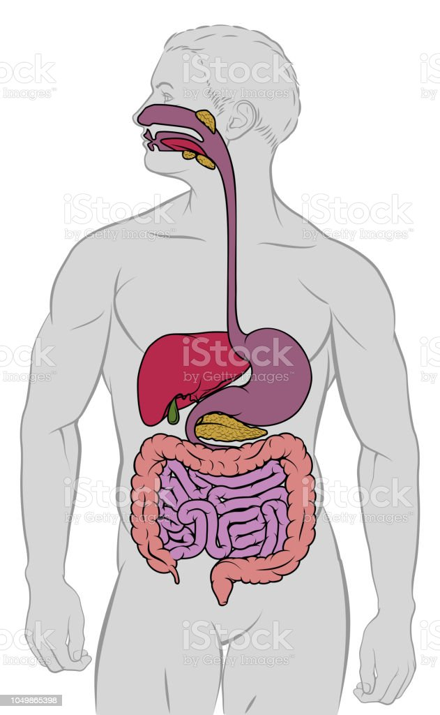 Gastrointestinal Digestive Tract Anatomy Diagram Stock Vector Art