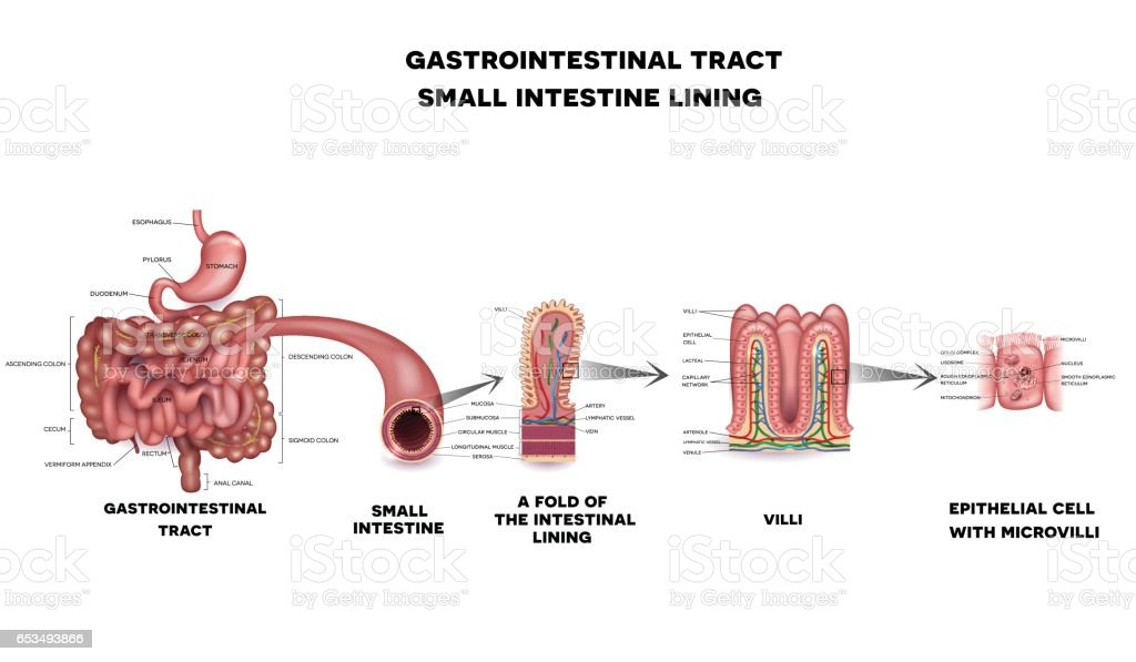 Gastrointestinal System Small Intestine Anatomy Stock Vector Art ...