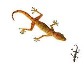 Dwarf Day Gecko