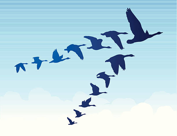 Geese Flying South Geese flying south in a v formation. canada goose stock illustrations