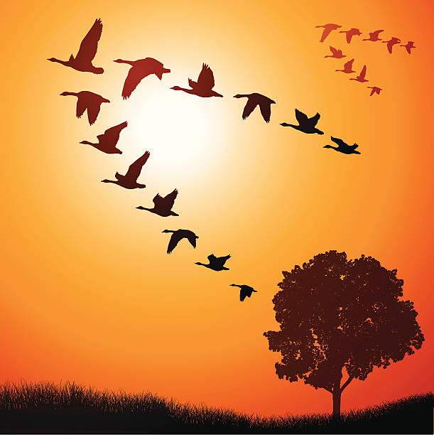 Geese Going South Flocks of geese going south for the winter. canada goose stock illustrations