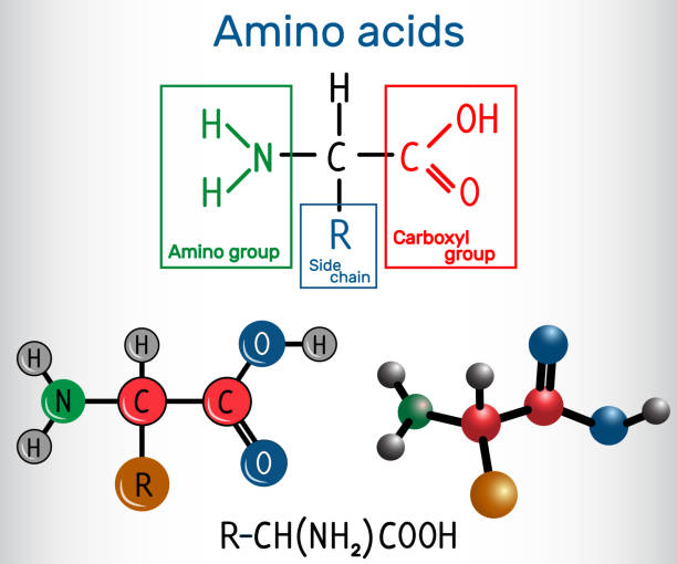 General formula of amino acids, which are building blocks of proteins and muscle fibers. Structural chemical formula and molecule model General formula of amino acids, which are building blocks of proteins and muscle fibers. Structural chemical formula and molecule model. Vector illustration amino acid stock illustrations