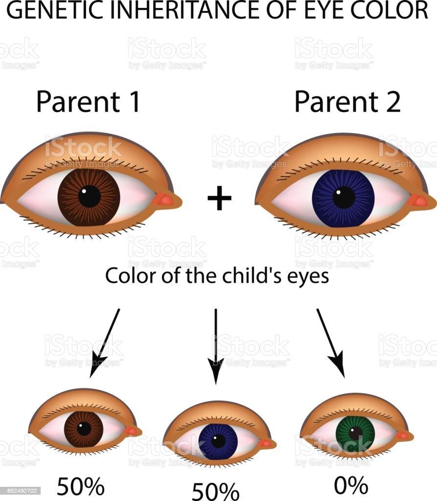 Genetic Inheritance Of Eye Color Brown Blue Green Eyes Infographics