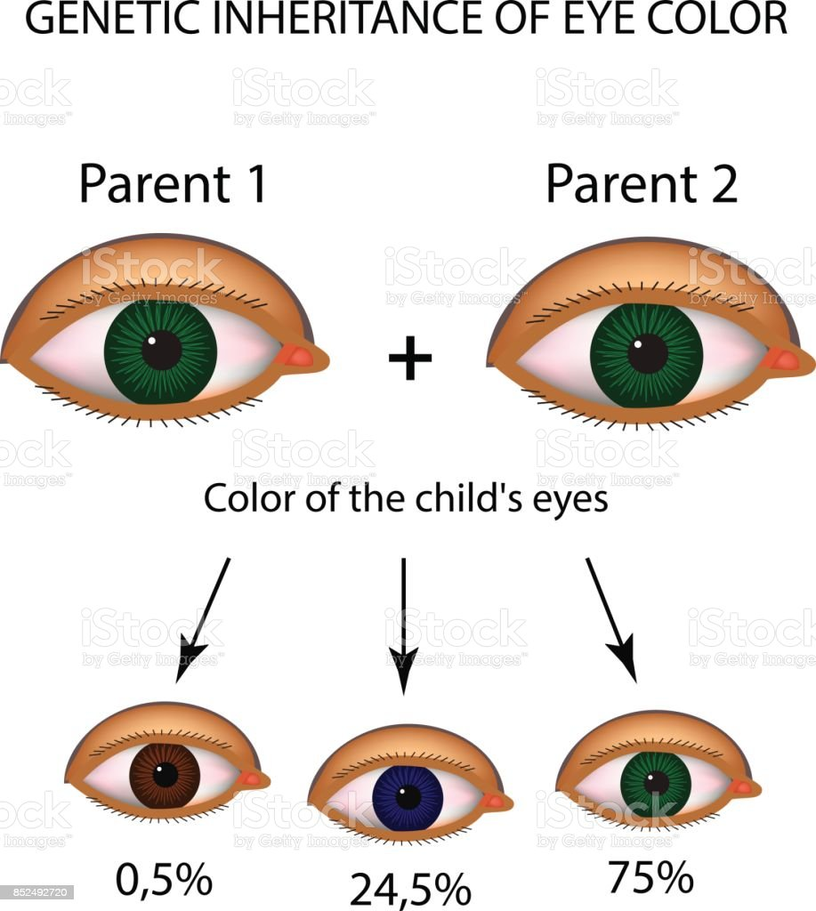 Genetic inheritance of eye color brown blue green eyes genetic inheritance of eye color brown blue green eyes infographics vector nvjuhfo Image collections