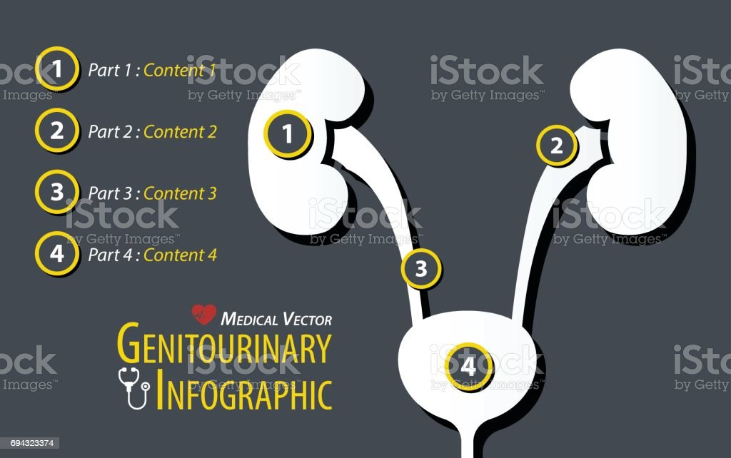 Urogenitalsystems Infografik Flaches Design Vektor Illustration ...