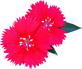Geometrical illustration of two pink dianthus isolated with leaves