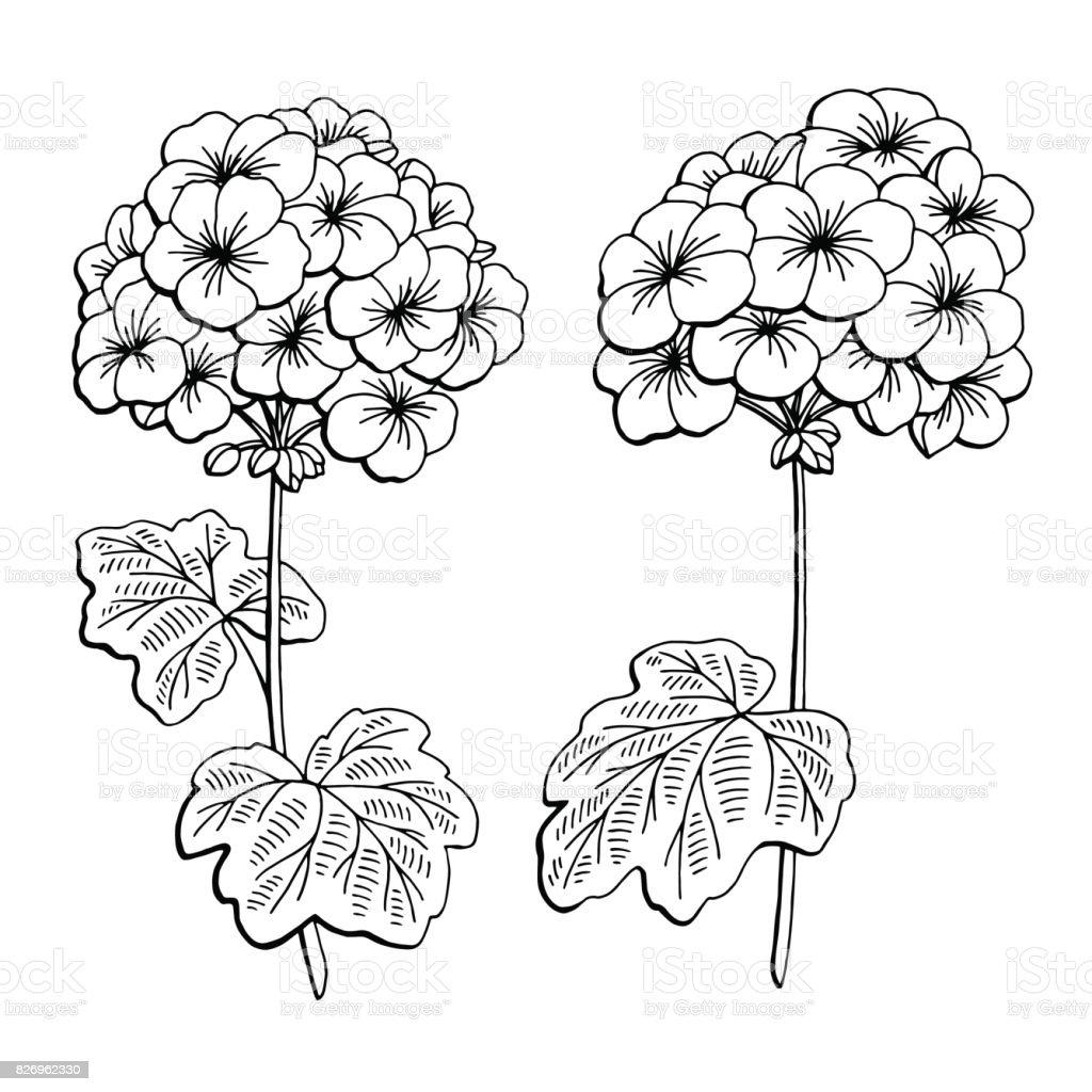 Geranium Flower Graphic Black White Isolated Sketch ...