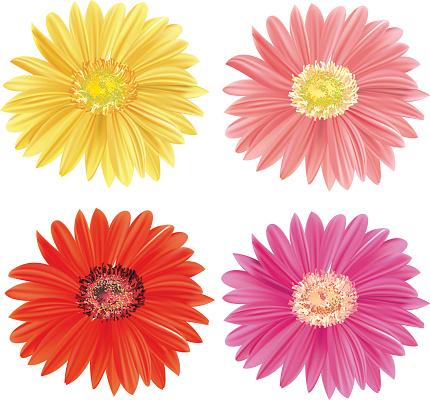 Gerbera Daisy Blooms