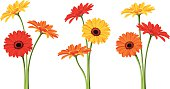Vector colorful gerbera flowers with stems isolated on a white background.