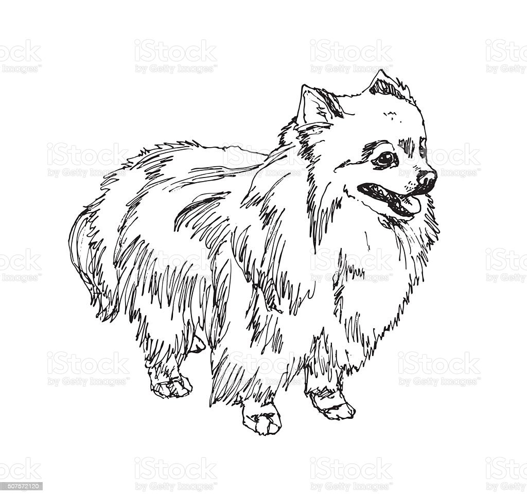 pomeranian vector german spitz pomeranian vector stock vector art more 1173