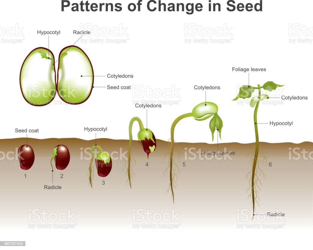 Germination of seed. Education info graphic vector. vector art illustration
