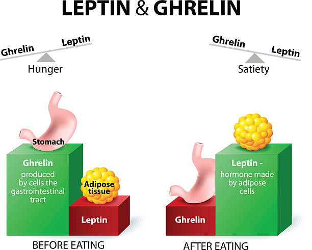 ghrelin and leptin Ghrelin and leptin - hormones regulating appetite. Leptin the satiety hormone. Ghrelin the hunger hormone. When ghrelin levels are high, we feel hungry. After we eat, ghrelin levels fall and we feel satisfied. hormone stock illustrations